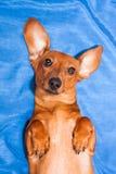 O cão pequeno, produz olhares de uma taxa em uma câmara Fotos de Stock Royalty Free