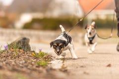 O cão pequeno puxa em uma trela ao andar, anos caninos de Jack Russell Terrier os 2 velhos fotografia de stock