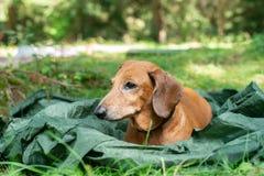 O cão pequeno triste, um bassê, encontra-se em um acampamento entre a grama verde Fotografia de Stock