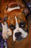 O cão preguiçoso que sonha em uma tarde chuvosa aconchegou-se toda acima no sofá Fotos de Stock Royalty Free