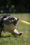O cão prepara-se para travar o disco do frisbee Fotografia de Stock