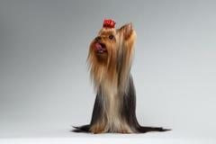 O cão preparado do yorkshire terrier senta-se no branco e na vista acima Imagens de Stock