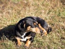 O cão preto Fotos de Stock Royalty Free