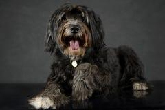 O cão preto dá uma mão em um estúdio escuro Imagem de Stock