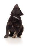 O cão preto de Labrador é  Imagens de Stock Royalty Free