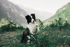 O cão preto e branco bonito border collie senta-se em um campo com flores e olhar in camera Nas montanhas do fundo foto de stock royalty free