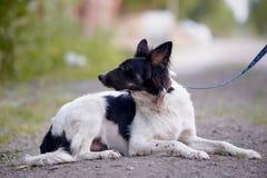O cão preto e branco encontra-se na terra. Fotos de Stock Royalty Free