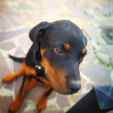 O cão preto e marrom Fotos de Stock