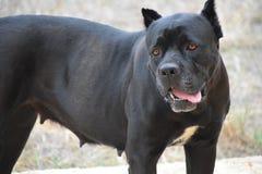 O cão preto, fêmea, pitbull, defensor, amigo, companheiro, olhos inteligentes, olhos amarelos, língua cor-de-rosa, cão poderoso,  fotografia de stock royalty free
