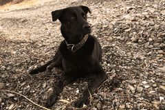 O cão preto grande com olhos brancos encontra-se nas pedras do mar e olha-se com cuidado em algo Sepia, foto velha foto de stock royalty free