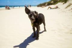 Cão preto pequeno na praia que escuta Imagens de Stock