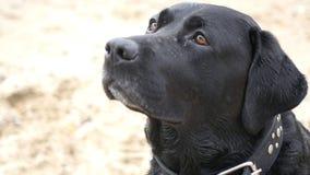 O cão preto senta-se e olhares com cuidado, os lickens, esperas para o alimento, HD fotos de stock