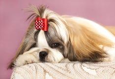 O cão produz o tzu do shih Fotografia de Stock