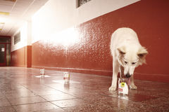 O cão que aspira a evidência do odor humano segue no lugar fotografia de stock
