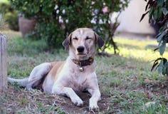O cão que encontra-se no assoalho Fotos de Stock Royalty Free