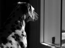 O cão que olha para fora a janela fotografia de stock royalty free