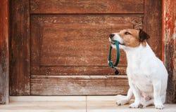 O cão que realiza no colar canino da boca com a etiqueta que senta-se na frente da porta de madeira gasto quer ir para a caminhad imagem de stock royalty free