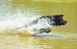 O cão que salta na lagoa 1 Imagem de Stock