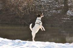 O cão que salta para o alimento Imagens de Stock Royalty Free