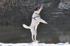 O cão que salta para o alimento Foto de Stock