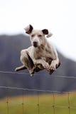 O cão que salta sobre a cerca Imagens de Stock