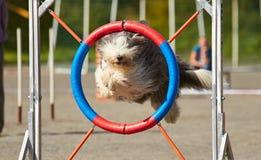 O cão que salta sobre o obstáculo da agilidade imagens de stock royalty free