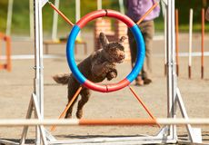 O cão que salta sobre o obstáculo da agilidade fotografia de stock