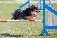 O cão que salta sobre o obstáculo na competição da agilidade imagens de stock