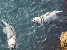 O cão que toma um banho e que nada em Arraial faz a praia Rio de janeiro de Cabo imagens de stock