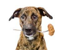 O cão realiza na boca uma forquilha com uma costoleta Isolado no branco Imagens de Stock