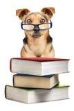 O cão registra espetáculos Fawn Isolated pequena imagens de stock