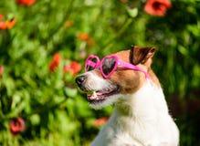 O cão romântico com coração deu forma a óculos de sol no fundo de flores da papoila foto de stock