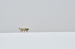 O cão só anda na neve foto de stock royalty free