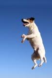 O cão salta Fotos de Stock