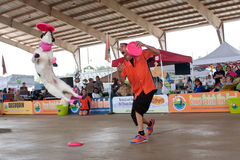 O cão salta altamente para travar o Frisbee na mostra canina Fotos de Stock