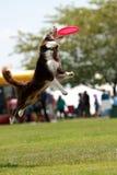 O cão salta e abre a boca largamente para travar o Frisbee Foto de Stock