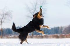 O cão salta para um saco do deleite na neve Imagem de Stock Royalty Free
