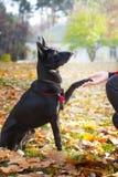 O cão senta e dá a pata para uma mulher Imagem de Stock