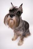 O cão senta-se Imagens de Stock Royalty Free