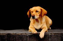 O cão senta-se e espera-se Imagens de Stock Royalty Free
