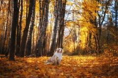 O cão senta-se na folha caída do outono no parque para uma caminhada durante o por do sol foto de stock