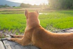 O cão senta-se na ponte de bambu velha perto do campo do arroz Imagens de Stock