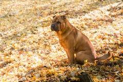 O cão Shar Pei anda no outono imagens de stock royalty free