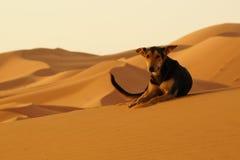 O cão solitário no deserto do ERG em Marrocos Fotos de Stock