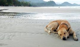 O cão sonolento Foto de Stock