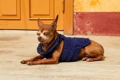 O cão sonolento do gengibre na camiseta azul está descansando próximo para amarelar a casa fotos de stock