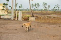 O cão tailandês local anda na terra enlameada na exploração agrícola fotos de stock royalty free