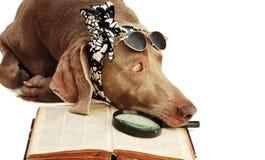 O cão tem um descanso após a leitura do livro Foto de Stock