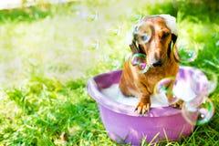 O cão toma um banho Foto de Stock Royalty Free