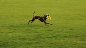 O cão traz o brinquedo traseiro da filhós equipar, jogando no parque video estoque